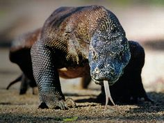 The aggressively uncute Komodo Dragon is native to Indonesia.  While not technically venomous, it's gum tissue easily sloughs off, making its mouth the perfect breeding ground for bacteria.  If victims aren't killed outright, they die within days of septicemia brought about by this bacteria...during which time, the dragon will patiently and relentlessly follow its victim.