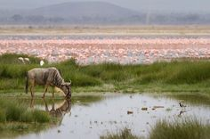 A wildebeest drinking from a swamp at Amboseli. On the background a flock of lesser and greater flamingos while on the foreground a cattle egret, a blacksmith lapwing and a marsh sandpiper. National Geographic Animals, All Gods Creatures, Photo Contest, Wildlife Photography, Kenya, Beautiful Places, National Parks, Africa, Landscape