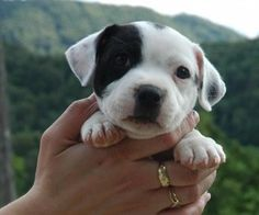 Staffordshire bull terrier puppy wallpaper