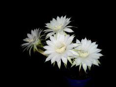 Cactus cu 4 flori