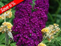 Buddleia Royal Red is an easy to grow flowering shrub for full sun and well drained soil
