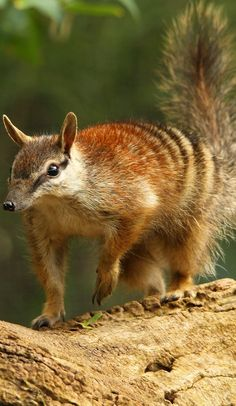 Happy Animals-Wild-Penguins-Happy Funny Problem Solving Penguins – LMAO Animal Pics Happy Animals-Wild-Penguins-Happy Funny Problem Solving Penguins Picture of a numbat. Funny Wild Animals, Happy Animals, Animals And Pets, Cute Animals, Animal Fun, Primates, Mammals, Australia Animals, Funny Animal Videos