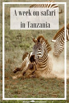 When we had the opportunity to go to Tanzania, we thought of 3 three things: climbing Kilimanjaro, a beach holiday in Zanzibar or going on safari. If we'd had three weeks, we'd have done all of them. But 2 of them would have to wait and we didn't hesitate to choose the safari. With 16 national parks, our challenge was choosing where to spend our time. We decided to spend our week's safari in Tanzania in the Serengeti and Ngorongoro Crater because it was our first visit to the country. And…