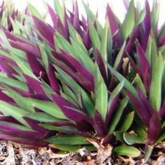 Tradescantia spathacea dwarf Rhoeo; Moses in the cradle