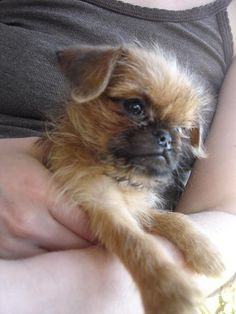 Adorable Brussels Griffon Puppy...this is what my dude looked like as a puppy! Awww :)