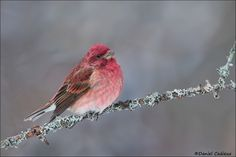 Fotografía Purple Finch por Daniel Cadieux en 500px