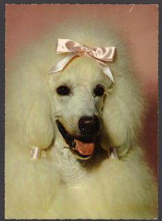 Pretty White Poodle with Pink Bow Oversize Vintage Hallmark Postcard | eBay