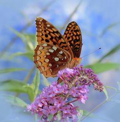 Fritillary Butterfly Photograph - Fritillary On Blue by MTBobbins Photography