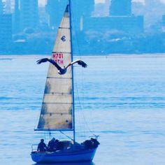 Wait for me #pelican #boat #sail #sailboat #sailing #williamstown #fly #melbonpix #melbourne #melbournetouristguide #great_captures_australia #amazing_australia #autumn #__ig_photobox #water #igboats #igdaily #igdaily #ig_birds by kelly_1203
