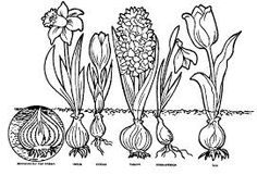 All kind of bulb flowers Spring Projects, Spring Crafts, Art Projects, Spring Drawing, Spring Art, Colouring Pages, Coloring Sheets, Narcisse, Spring Activities