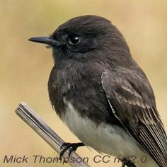 Two Phoebes Share the West -- But they rarely compete for food because they occupy different habitats.  | BirdNote