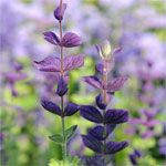 Snip, snip. This is clary sage, one of our favorite flowers for the cutting garden: http://www.gardeners.com/Cutting-Garden/5011,default,pg.html?utm_source=pinterest.com_medium=referral_term=learn_content=pin_campaign=cutting-garden