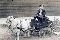 goat cart racing? Also, goats can even offer a source of transportation!  Wethers (castrated males) are sometimes taught to pull carts, and thereby assist with farm chores.   Years ago, young children and goat carts were a fairly common sight.   We're seeing that return today.