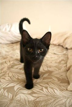 A happy black kitten.  Tail up with a hook shows happiness.