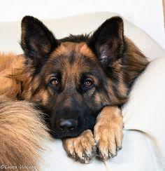 17012015-DSC_0049 - German Shepherd -The face of understanding many things.