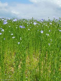Flax_plants_in_June.