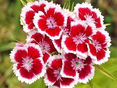 Pisces Shop - Hạt giống hoa: Hạt giống hoa Cẩm Chướng + cách gieo hạt