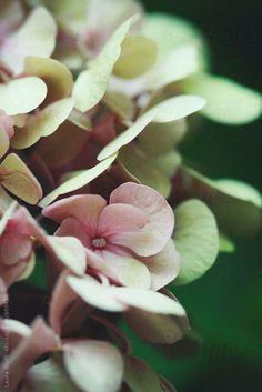 Close-up of pink hydrangea flowers in bloom by laurastolfi   Stocksy United