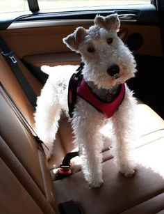 Wire Fox Terrier. SO cute! Terriers are always ready to 'go'...anywhere, everywhere-they just love to go!