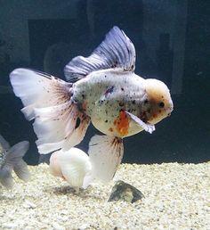 Matt Calico Oranda Comet Goldfish, Oranda Goldfish, Goldfish Tank, Japanese Goldfish, Pygmy Marmoset, Tetra Fish, Golden Fish, Angel Fish, Beautiful Fish