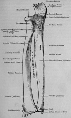 The-Right-Radius-and-Ulna-Anterior-View.png (485×800)
