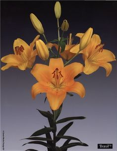 Brasil  Ochreous or Ocher Yellow  Lily