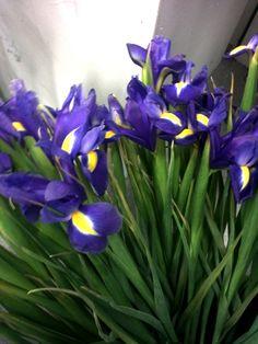 Snittblomst Iris