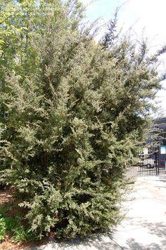 leptospermum lanigerum woolly tea tree - Google Search