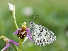 https://flic.kr/p/uv3LFm | Marbled White (Melanargia galathea) | First of the summer on a Bee orchid Somerset