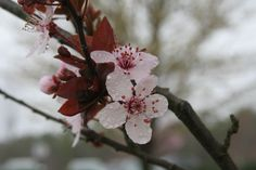 Cherry Blossoms on a misty day, water droplets and glistening with freshness.