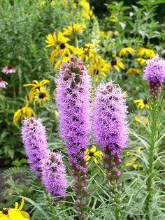 Liatris spicata - Dense Blazing Star: Available at Prairie Moon Nursery Greenhouse Base, Greenhouse Growing, Blazing Star Flower, Pink Perennials, Floral Design Classes, Swamp Milkweed, Plant Order, Garden Site, Moon Nursery