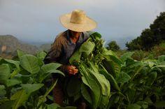 Tabaco, Vinales, Cuba