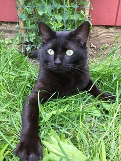 Meet Eeyore, an adoptable Domestic Short Hair (Black) looking for a forever home. If you're looking for a new pet to adopt or want information on how to get involved with adoptable pets, Petfinder.com is a great resource.