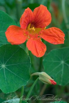 Family Tropaeolaceae; Genus Tropaeolum; Species majus; Nasturtium aka Indian Cress; Lewis House Garden.