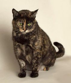 If you are looking for a cat that is affectionate, friendly, loves to be groomed and have her belly rubbed, meet Annabella! Learn more at www.spca.bc.ca/branches/victoria/adoption/pet-on-the-net/potn-annabella.html or contact the BC SPCA Victoria Branch at (250) 388-7722 or victoria@spca.bc.ca. #AdoptBCSPCA
