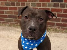 GONE --- URGENT - Brooklyn Center    DIESEL a/k/a TOMY - A0991851    I am an unaltered male, black and white American Pit Bull Terrier mix.   The shelter staff think I am about 4 years old.   I weigh 57 pounds.   I was found in NY 11210.   I have been at the shelter since Feb 17, 2014   https://www.facebook.com/photo.php?fbid=761117430567805&set=a.761117387234476.1073742979.152876678058553&type=3&theater