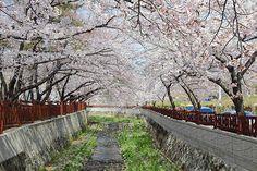 Jinhae – South Korea