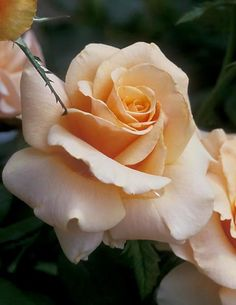 Blending of apricot hues; great cutting rose; large bloom; needs winter protection; ruffled blooms of almost silk-like appearance