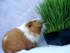 TIPS FOR GROWING SPROUTS INDOORS FOR YOUR GUINEA PIGS