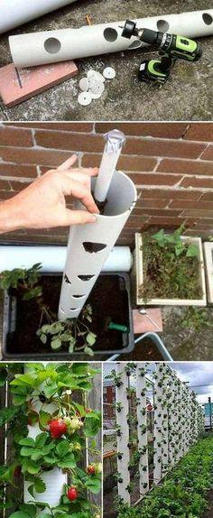 """Alebo pestujte jahody """"na stojato"""" t.j. do dlhej plastovej rúry vyvŕtame otvory, napĺňame substrátom a zboku cez diery sadíme jahody."""