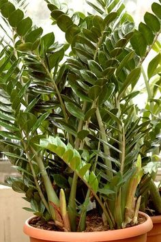 Zaza - Fiche plante : Zamioculcas Plus Garden Plants, Container Gardening, Horticulture, Trees To Plant, Green Plants, Gardening For Beginners, Plants, Outdoor Plants, Urban Garden