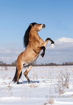 Byelorussian Harness Horse stallion Grokhot. Horse rearing in the snow.