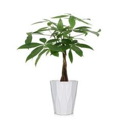 Costa Farms Pilea Peperomioides Sharing Plant in 6 in. Contemporary Planter-6PILEACONTEMP - The Home Depot Orchid Plants, Potted Plants, Plants Indoor, Orchids Garden, Flowering Plants, Indoor Garden, Outdoor Gardens, Palm Plant, Trees To Plant
