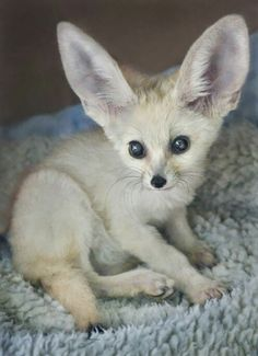 Fennec foxes are adorable