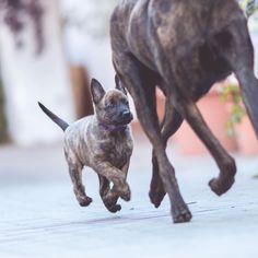 Wann ist der richtige Zeitpunkt für einen Hund gekommen? Wie weiß ich, dass ich bereit bin? 💯 danke für die unglaublich vielen Antworten zu meinen Fragen. Heute noch wird die Podcastfolge dazu aufgenommen 🤗. ______________________  #welpe #puppy #hollandseherder #herderpuppy #holländischerschäferhund #hundeliebe #hundebaby #hundetraining #welpentraining #puppylove #welpenalarm #welpenzeit #welpen #hundewelpen #welpenspiel #optimalinsleben #hollandischerschaferhund… French Bulldog, Lisa, Dogs, Animals, Instagram, Thanks, Animales, Animaux, French Bulldog Shedding