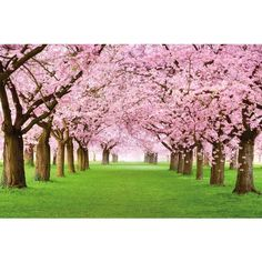 Cherry Tree Photo Wallpaper - Forest with Cherry Trees - Spring Pink... ($49) ❤ liked on Polyvore featuring home, home decor, wallpaper, spring wallpaper, pink cherry trees, pink tree, cherry tree and pink wallpaper
