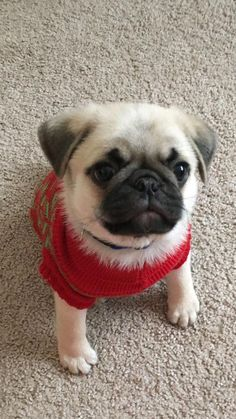Products Amazing hand crafted jewellery and accessories available for pug moms and pug dads at PawsPassion. Products Amazing hand crafted jewellery and accessories available for pug moms and pug dads at PawsPassion. Cute Pug Puppies, Cute Pugs, Dogs And Puppies, Doggies, Terrier Puppies, Bulldog Puppies, Boston Terrier, Funny Dog Names, Funny Dogs