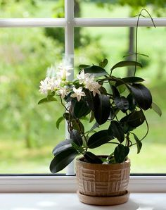 The jasmine plant is a source of exotic fragrance in warmer climates. Jasmine plant has herbal properties and is an important scent in perfumes. The plants m. Best Indoor Plants, Cool Plants, Indoor Garden, Balcony Garden, Jasmine Plant Indoor, Potted Plants, Plante Jasmin, Plantes Feng Shui, Chlorophytum