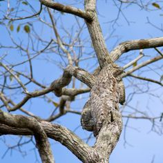 A Great Potoo camouflages itself against a tree in Brazil Picture: ARDEA / CATERS NEWS / Suzi Eszterhas