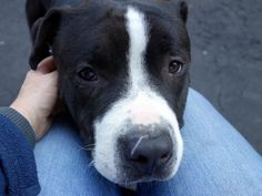 SAFE❤️❤️ 8-30-15 Manhattan Center PAK – A1034733 MALE, BLACK / WHITE, AM PIT BULL TER / AMERICAN STAFF, 2 yrs OWNER SUR – EVALUATE, NO HOLD Reason COST Intake condition EXAM REQ Intake Date 04/29/2015